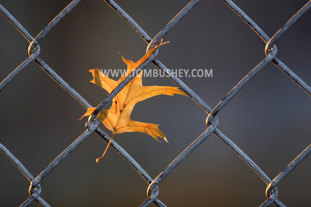 Middletown, N.Y. - An oak leaf is caught in a chain link fence on Oct. 20, 2007.