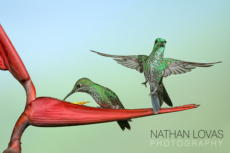 Green-crowned Brilliant Hummingbirds on Heliconia flower;  Costa Rica .