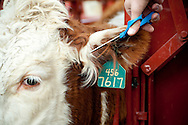 PRICE CHAMBERS / NEWS&amp;GUIDE<br /> A Hereford calf gets a trim to keep its ear tag visible as veternarian Ken Griggs vacinates, tags and checks the animal for pregnancy.