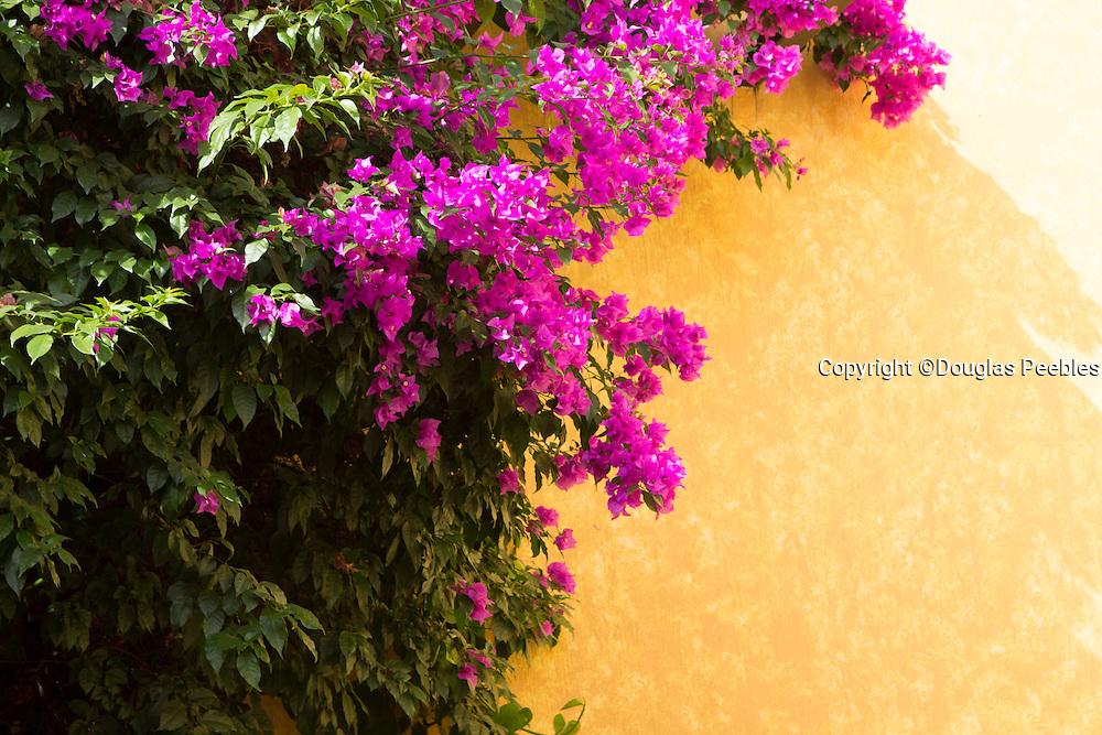 Bouganvilla, Tequila Cuervo La Rojeña, tour, Jalisco, Mexico