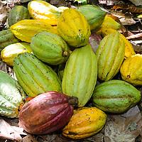 Mazorcas de Cacao (fruto de Cacao) en la selva de Birongo, ubicado entre las poblaciones de Curiepe y Capaya, en la porción centro-norte de Venezuela. Estado Miranda. Cobs Cacao (Cocoa fruit) in the jungle of Birongo, located between the towns of Curiepe and Capaya, in the north central portion of Venezuela. Miranda State.