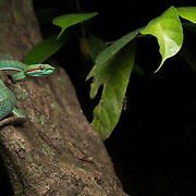Pope's Pit Viper (Trimeresurus popeiorum) subadult male in Kaeng Krachan national park, Thailand