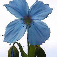A Blue Poppy against an overcast sky.