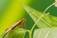 Scorpionfly (Brachypanorpa oregonensis) - male<br /> OREGON: Benton Co.<br /> Marys Peak, northeast ridge<br /> 4-July-2017<br /> J.C. Abbott &amp; K.K. Abbott
