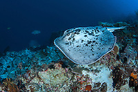 A Black-Blotched Stingray cruises a reef slope...Shot in Indonesia..