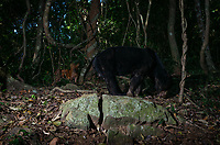A sun bear (Helarctos malayanus) being observed by a dhole (Cuon alpinus) in the Kaeng Krachan National Park, Thailand.