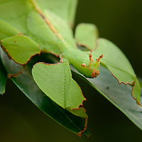 A juvenile leaf insect (Phyllium sp.) from the rainforest of Iron Range National Park. Queensland, Australia.