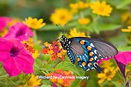 03004-00909 Pipevine Swallowtail (Battus philenor) on Red Spread Lantana (Lantana camara) in butterfly garden, Marion Co.  IL