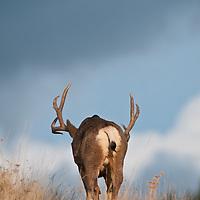 mule deer buck in grass walking away dramatic sky