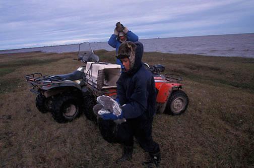Snowy Owl, (Nyctea scandiaca) Nuk and Denver Holt band chicks before release. Barrow, Alaska