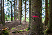 Larch trees, Larix, in managed woodland at Galloway Forest Park marked with red mark to signal the disease Phytophthora ramorum which is affecting some trees in the UK