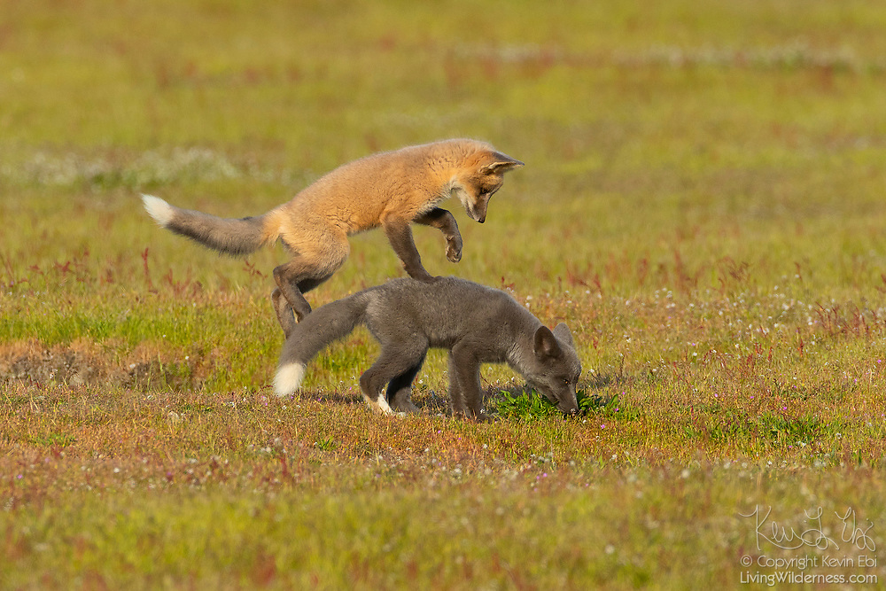 A red fox (Vulpes vulpes) kit pounces its sibling in the prairie at San Juan Island National Historical Park on San Juan Island, Washington. Red foxes were introduced to the island on various occasions in the 1900s.