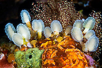 Despite their appearance, ascidians are more closely related to vertebrates than to invertebrates such as corals or sponges.  They are filter feeders, pumping water through their bodies and extracting particles of food.  Different species have different growth forms and they can be colonial or solitray, encrusting or stalked such as these.  In the cold, rich waters of the southern part of the park, ascidians are very common and diverse.  The Komodo National Park is home to the unique Komodo Dragon, but also has some remarkable marine life.  Cold upwellings from the Indian Ocean to the south bring plenty of nutrients, providing food for a spectacular array of different species.