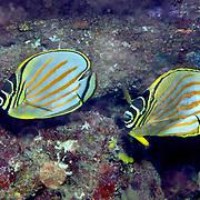 Ornate Butterflyfish inhabit reefs. Picture taken Pantar, Indonesia.