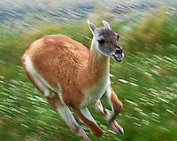 Guanaco Running at the Entrance to Torres del Paine National Park in Patagonia. Image taken with a Nikon D3s camera and 70-300 mm VR lens (ISO 200, 300 mm, f/16, 1/100 sec).