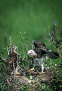 Two red-tailed hawks (Buteo jamaicensis) nearly fledged still in the nest. The Nature Conservancy's Zumwalt Prairie Preserve - one of the largest remaining intact bunchgrass prairies left in North America. It supporta na unusually large raptor population because of the high populations of belding ground squirrels and other rodents.