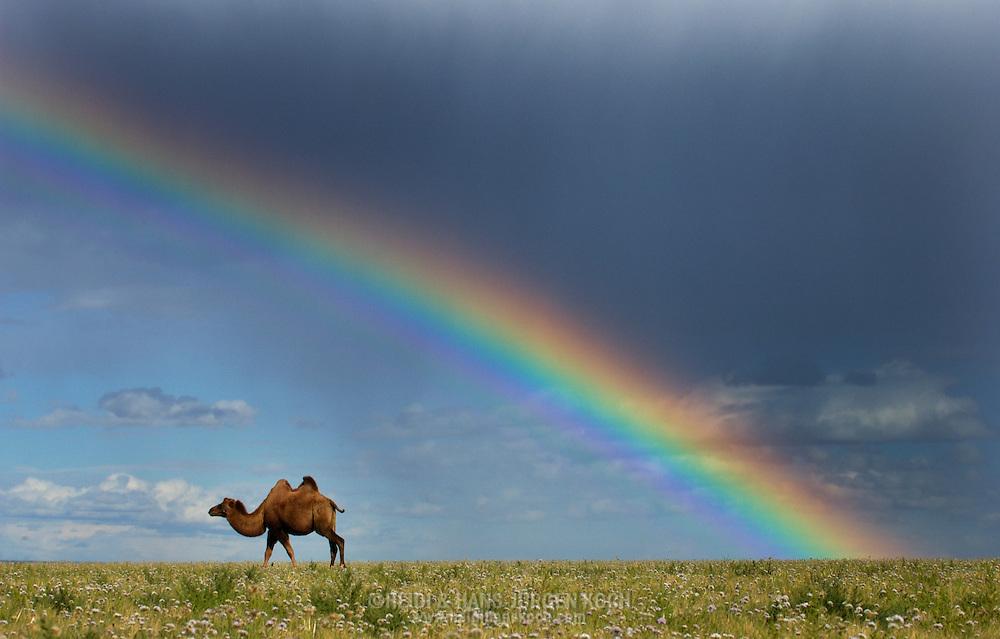 Mongolei, MNG, 2003: einzelnes Kamel (Camelus bactrianus) unter einem Regenbogen, dunkle Regenwolken am Himmel, regnerischer Sommer, sehr ungewöhnlich für die südliche Gobi. | Mongolia, MNG, 2003: Camel, Camelus bactrianus, single camel walking under a rainbow, dark heavy rainclouds in the sky,  rainy summer, very unusual for this region, South Gobi. |