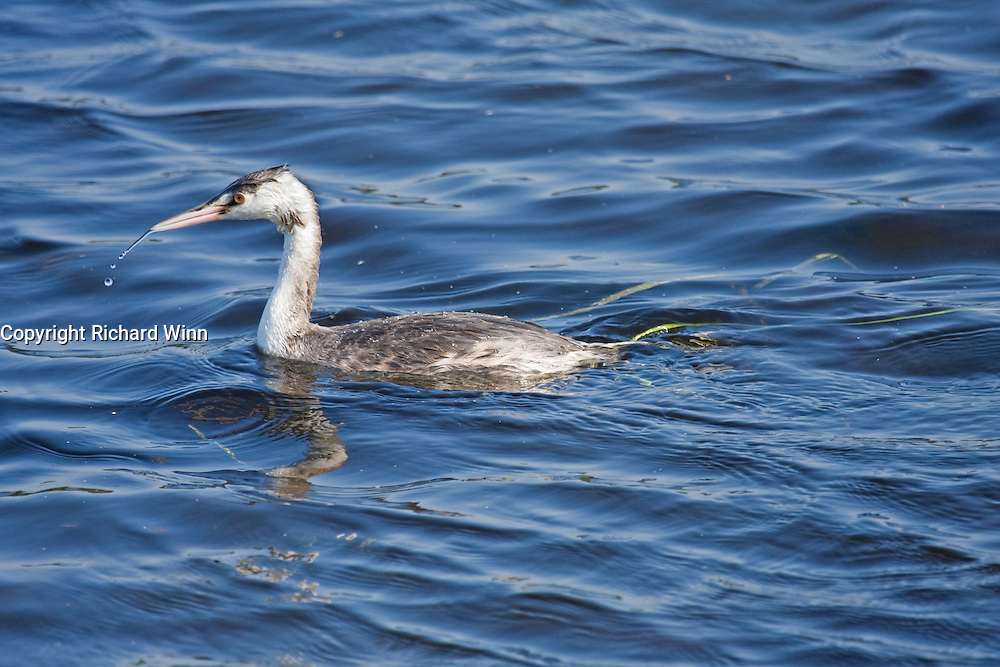 Great Crested Grebe in winter plumage, just after dipping its head in the water to look for fish.