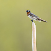 The Pacific swallow (Hirundo tahitica) is a small passerine bird in the swallow family.
