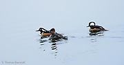 Three mergansers work the shallow water just out from shore looking for fish.