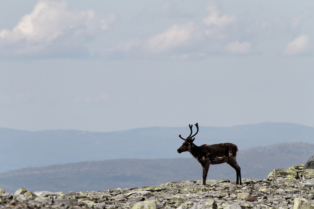 Reindeer (Rangifer tarandus) in Sylan, Norway