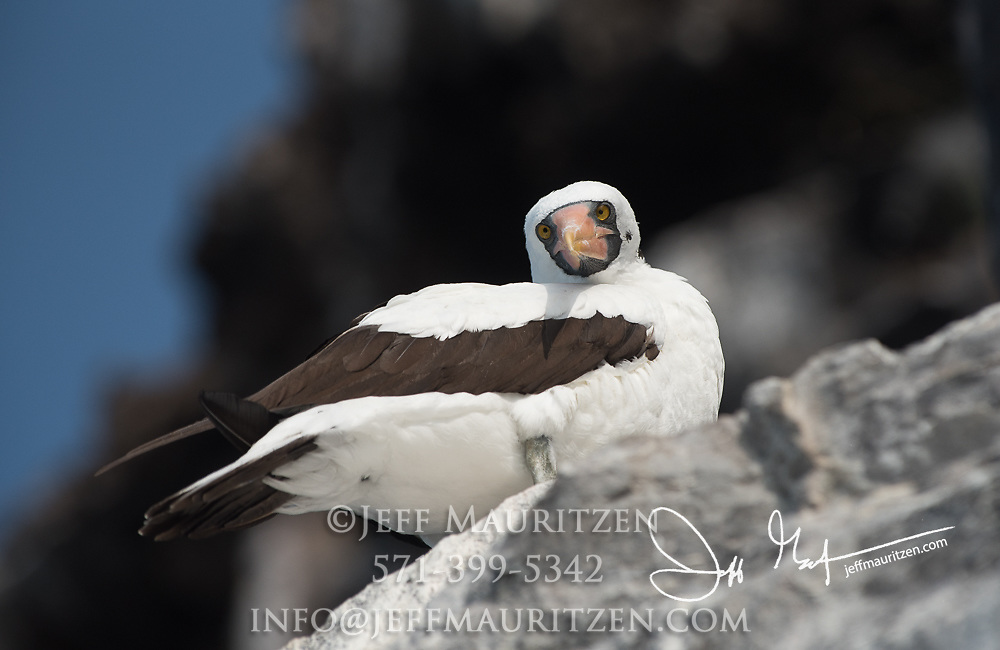 A Nazca booby lands on Genovesa island in the Galapagos, Ecuador.