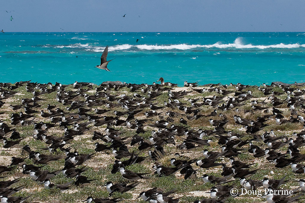sooty terns, Onychoprion fuscata or Sterna fuscata, nest in a crowded rookery, blanketing Tern Island, French Frigate Shoals, Papahanaumokuakea Marine National Monument, Northwest Hawaiian Islands ( Central Pacific Ocean )