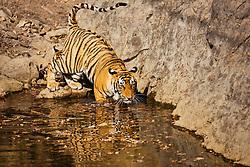 A Bengal tiger (Panthera tigris tigris) slowly walking into a water hole, Ranthambhore National Park, Rajasthan, India,