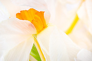 The Daffodil, also known as narcissus and jonquil belong to the Amaryllis family. The daffodil marks the end of winter and the beginning of a new season. It is also known as the Easter Lily or Lent Lily. The flower has six petal-like tepals surmounted by a trumpet-shaped corona, and are generally white or yellow.