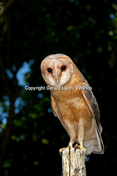 Barn Owl, tyto alba, Adult standing on Post, Vendee in the West of France