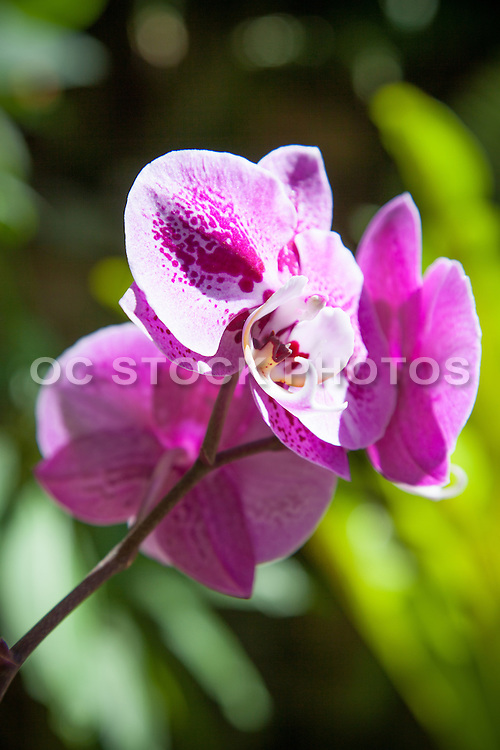 Purple Orchid Flower at the Botanical Garden Balboa Park