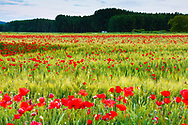 Poppies on a cereal field. Ancin, Navarre, Spain.