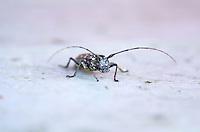 Front view of Whitespotted Sawyer beetle (Monochamus scutellatus), Baxter State Park, Maine.
