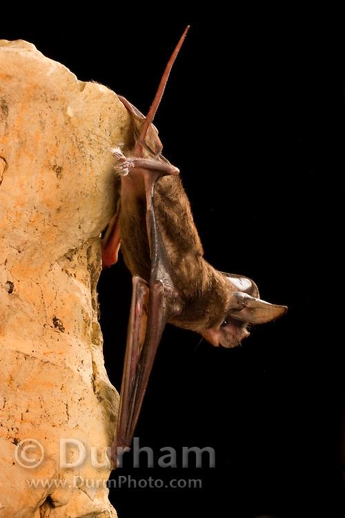 A big free-tailed bat (Nyctinomops macrotis) roosting, Texas.