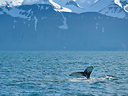 Big Humpback whale jumping