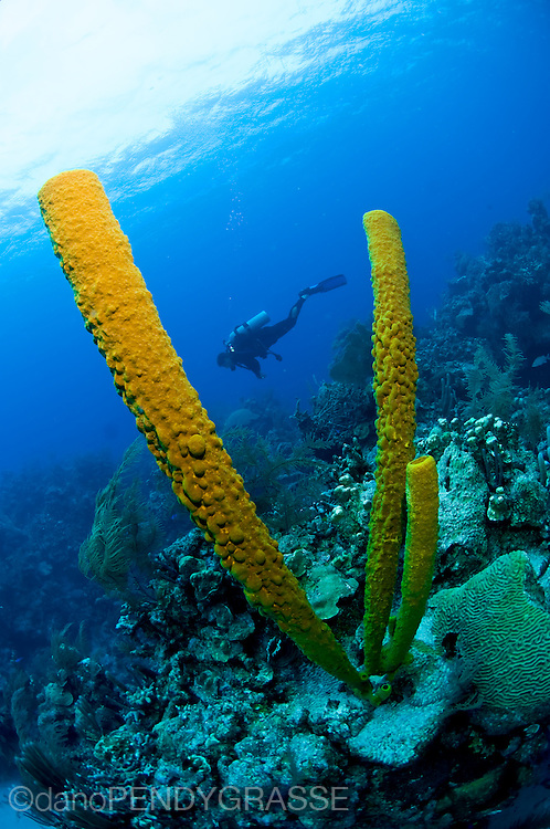 Huge orange tube sponges dwarf a diver in Belize.