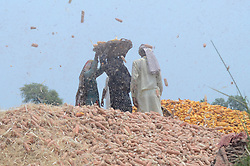 July 20, 2017 - Lahore, Punjab, Pakistan - Pakistani farmers busy in separating maize grains from cobs in their field at subrub of Lahore. Maize, also known as corn, is a large grain plant first domesticated by indigenous peoples about 10,000 years ago it is the most yielded crop in Punjab now a days. The country's agriculture sector still remains mainstay of the national economy that accounts for 21pc share in the gross domestic production, contributed 40pc share in overall employment and 18pc in the overall exports. (Credit Image: © Rana Sajid Hussain/Pacific Press via ZUMA Wire)