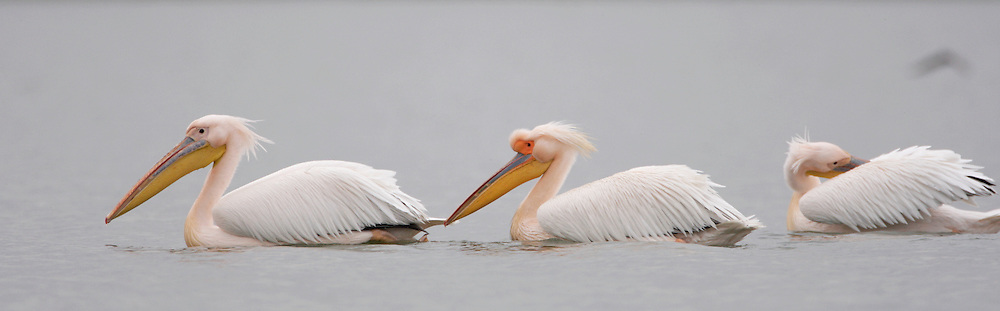 White Pelican (Pelecanus onolocratus) in the Danube Delta, Romania. May 2009 <br /> Mission: Danube Delta