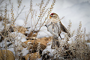 Common Redpoll in Yellowstone National Park