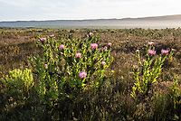 Protea compacta, Agulhas National Park, Western Cape, South Africa