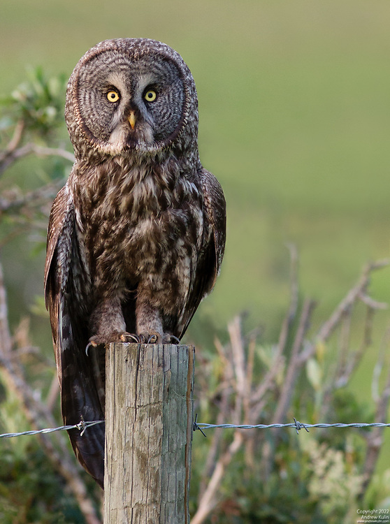 This owl was sitting on a fencepost at the side of Highway 40 west of Longview, Alberta.  We observed a few of this owl's hopelessly unsuccesful attempts at hunting its dinner in the grasses below before leaving it be for the evening.