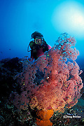 soft coral, Dendronephthya sp., and diver, Alamanda Bay, Bali, Indonesia MR 270