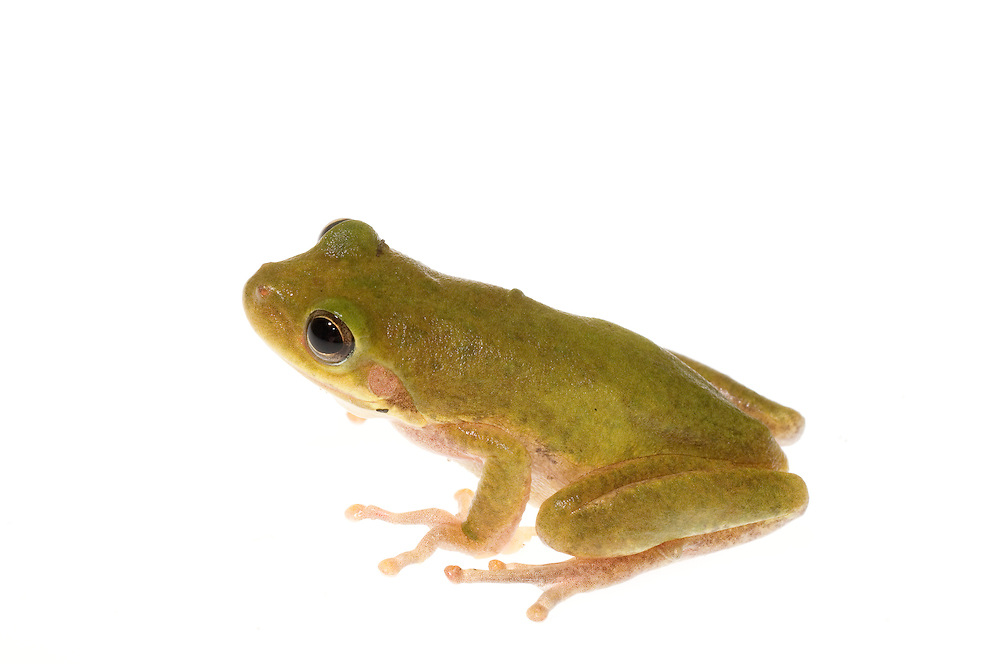 Squirrel Treefrog (Hyla squirella)