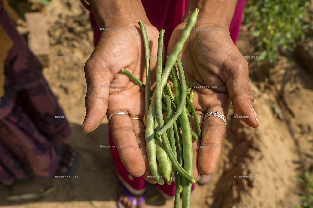 Gogaram Giri, 35, holds a bunch of beans after harvesting them from her kitchen garden in a village near Bikaner, Rajasthan, India on October 23, 2016. Non-profit organisation Technoserve works with farmer's wives in Bikaner, providing technical support and training for edible gardening, to improve the nutritional quality of their food and relieve financial stress on farming communities. Photograph by Suzanne Lee for Technoserve