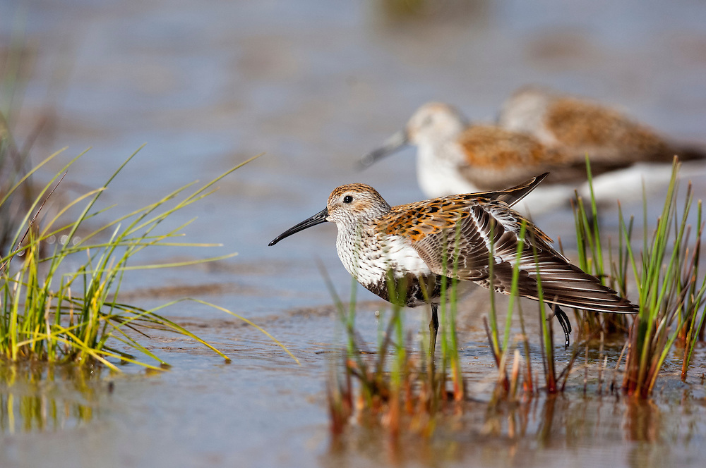 Dunlin, Calidris alpina, feeding, Iosco County, Michigan