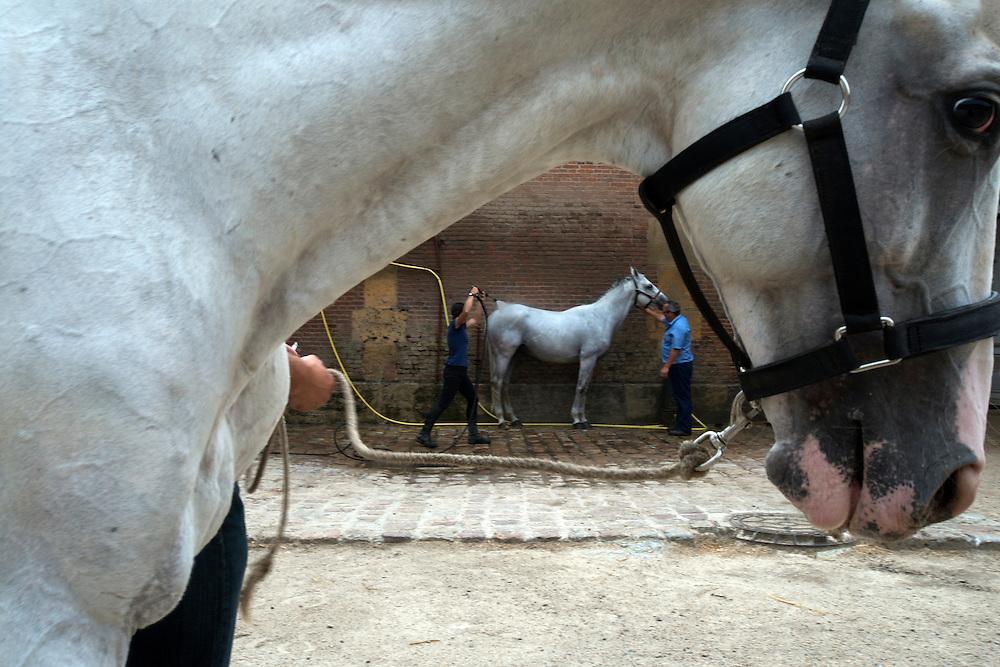Des professonnels de cheval lavent les chevaux du Haras National du Pin. Le Pays d'Auge est une r&eacute;gion de pr&eacute;dilection pour l'&eacute;levage de chevaux. <br /> Pin au Haras, France. 25/07/2013.