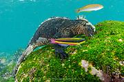 A Galapagos Marine Iguana, Amblyrhynchus cristatus, feeds on algae that covers the shallows of Isla Fernandina, Galapagos Islands, Ecuador.