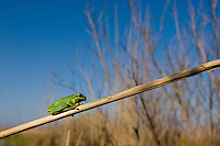 Tree-frog in the reedbed of Cesine Natural Park