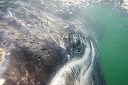 Gray Whale<br /> Eschrichtius robustus<br /> San Ignacio Lagoon, Baja California, Mexico