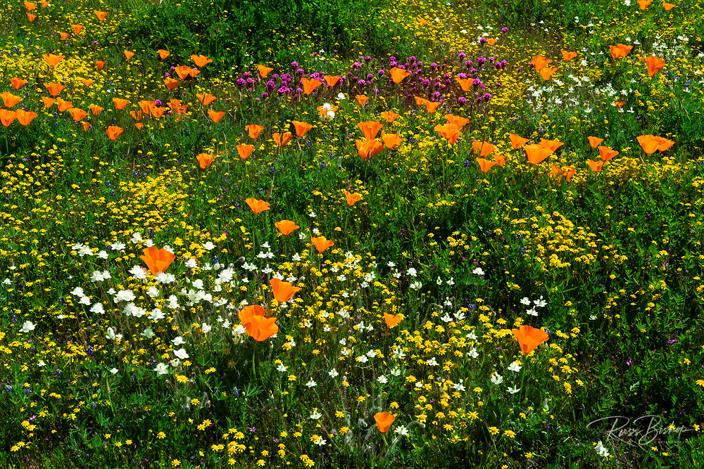 California Poppies (Eschscholzia californica) Owl's Clover (Castilleja exserta), and Goldfield (Lasthenia californica), Antelope Valley, California USA